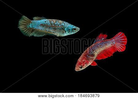 Siamese Fighting Fish Haft Moon Female On Black Background