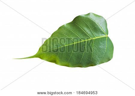Bonhi leaf isolated on white background. Green concept