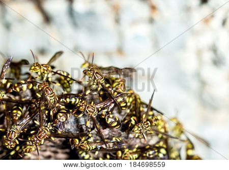 Adult yellow wasps on the hornet's nest.