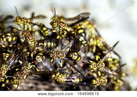 Adult yellow wasps on the hornet's nest