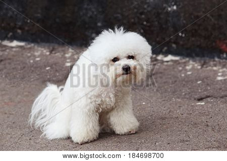 the dog maltese bichon walk on a street