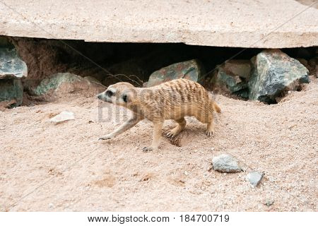 Suricat. Running suricat. Sandy surface. Desert with rocks and sand. Languid entrance to the hole. Nora littered with stones.