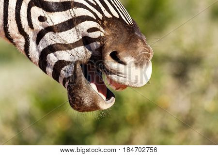 Close Up Of A Zebra Standing And Laughing