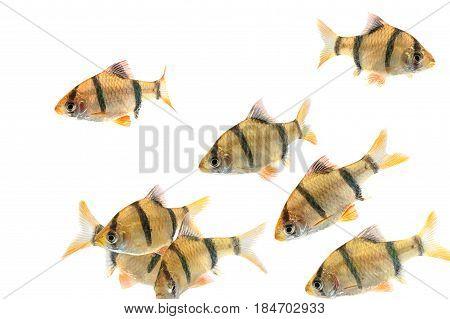 Aquarium Fishthe Tiger Barb Fish, Sumatra Barb (puntius Tetrazona).