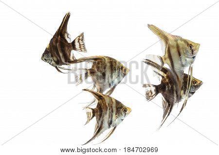 Angelfish (Pterophyllum) , isolated on white background