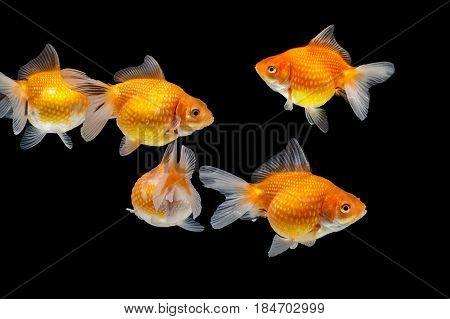 Gold Fish Ryukin In The Fish Tank