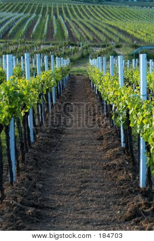 A Row In Wineyards