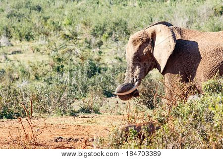 Elephant With His Trunk Curled