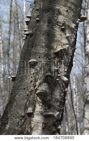 Dead old tree with parasite mushrooms on