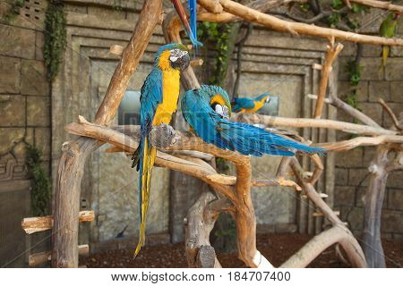 A blue yellow parrot bird in a jungle on an old tree against a background of a stone wall. Colorful colored parrots on dry branches of trees. Wild birds in the park.
