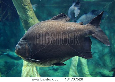 Gray big fish deep in the blue sea under water. Underwater world of the ocean, marine life, fish in the aquarium, blue water, under water.