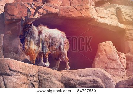 A mountain goat with large horns stands on a rock on a sunny afternoon. Horned wild goat, horns, mountainous terrain, wild animals. A cloven-hoofed animal in the mountains among stones.