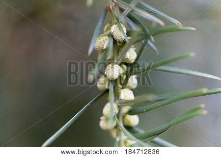 Flowers of a California nutmeg (Torreya californica)