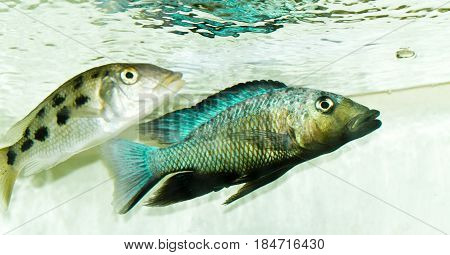 Fossochromis rostratus - African cichlid from Lake Malawi.