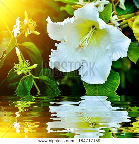 White Beaumontia Grandiflora Blooming With Reflection Near Water