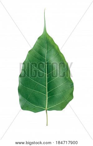 Bonhi leaf isolated on white background. Green leaf.