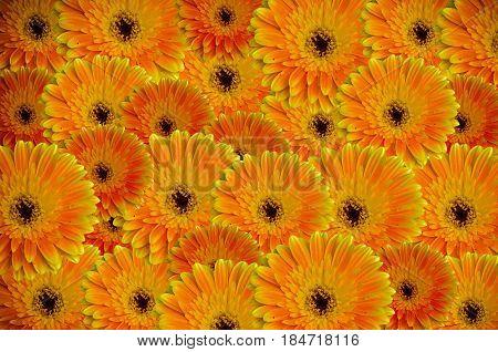 Close Up Beautiful Gerbera Daisy Flower Background
