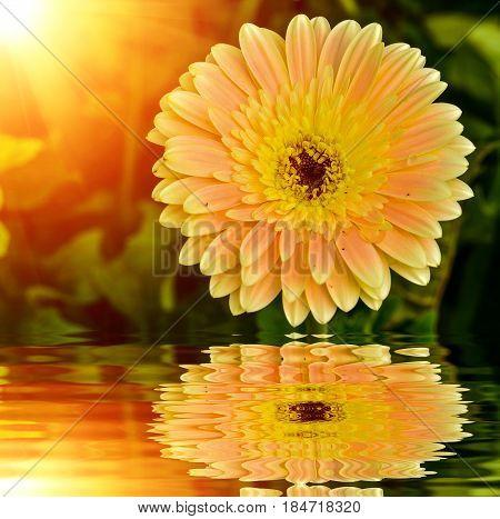 Close Up Beautiful Gerbera Daisy Flower With Reflection Near Water