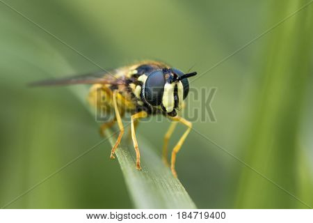 Chrysotoxum cautum hoverfly head on. Large and boldly coloured wasp mimic in the family Syrphidae at rest on grass