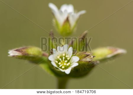 Common Mouse-ear (Cerastium fontanum) flowers. Low-growing plant with cluster of deeply notched white petals in the family Caryophyllaceae
