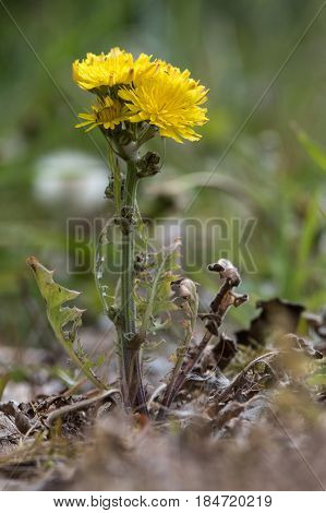 Beaked Hawk's-beard (Crepis vesicaria) plant in flower. Hairy plant in the daisy family (Asteraceae) with hairy stems and yellow inflorescences