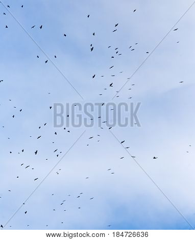 A flock of raven birds on a blue sky .