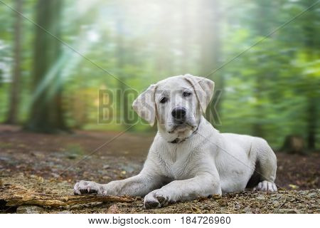 young cute labrador retriever dog puppy in the forest - playing with a piece of wood