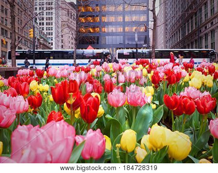 NEW YORK, APR 24, 2015: Red yellow magenta tulip garden flower bed in front of Wall street with tourists people buses cars on the background. New York City sightseeing holidays vacation tours