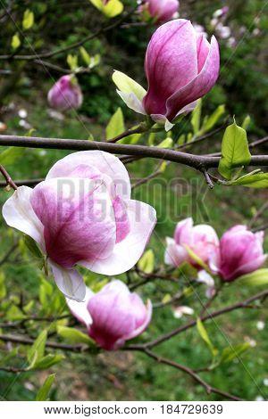 Magnolia blossom. Flowering of spring gardens, magnolias