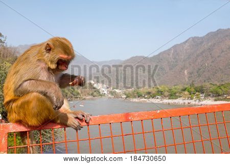 Monkey eating an ice cream on the bridge at Laxman Jhula in India
