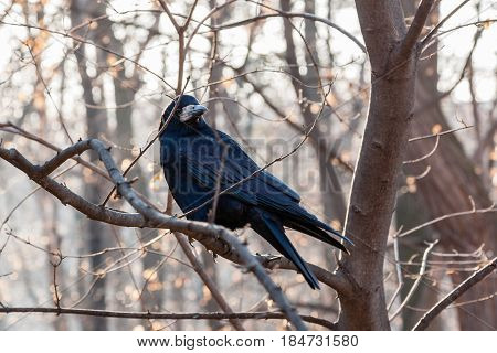 Black Raven Sits On A Branch Close Up