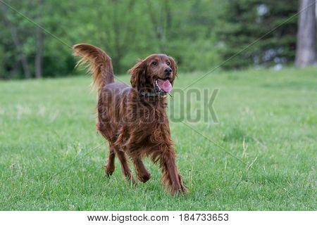 Irish setter runs across the field. Selective focus on the dog