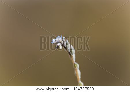 Macro of a strict forget me not (Myosotis stricta)
