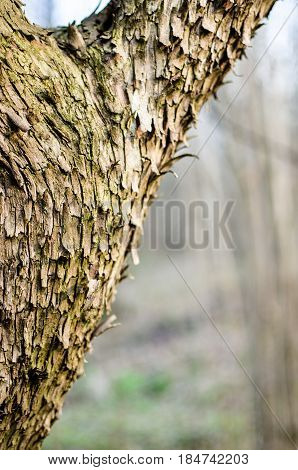 The Main Trunk Of The Tree With Bark, Branching