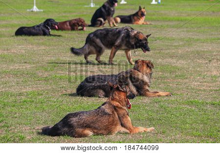 dog squat in being trained safety by soldier on the grass.