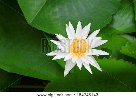 Plumeria flower white and water drop beautiful on tree ( Common name pocynaceae Frangipani Pagoda tree Temple tree )