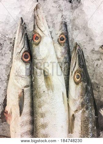 Obtuse Barracuda Fish