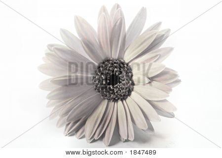 Gerbera Daisy In Black And White