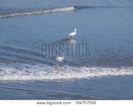 Snowy Egret Standing On The Beach