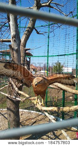 In the zoo in a cage on a tree branch sits an eagle with large wings
