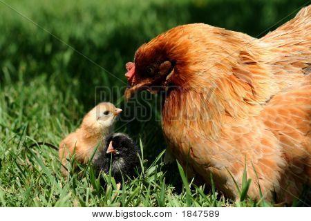 Araucana Hen And Chick 2