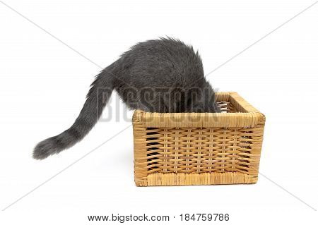 gray kitten climbs into the wicker basket. White background - horizontal photo.