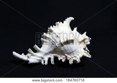White sea shell on blank background black