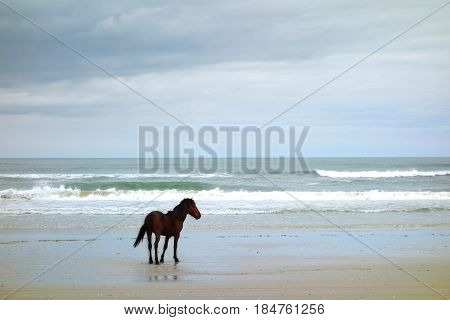 A wild horse stands on the beach on the Outer Banks in Corolla North Carolina