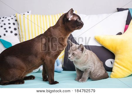 Two Cats, Father And Son Cat Brown, Chocolate Brown And Grey Kitten With Big Green Eyes On The Woode