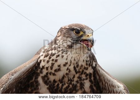 Close up of a Saker Falcon having a meal