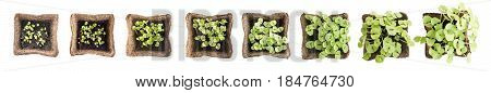 Young Basil Sprouts or Seedlings in Peat Container Isolated on White Background