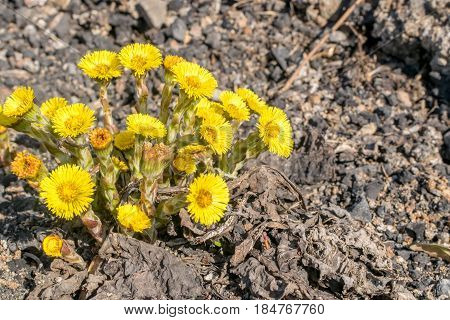 Group Of Blooming Coltsfoot Flowers On Dark Rocky Ground