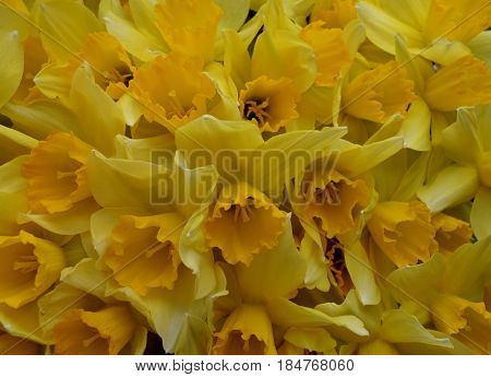 flower daffodil pattern close-up summer colorful petals leaf yellow nature flowers plant garden blossom spring floral bloom beauty green pasta flora bouquet food bright forsythia