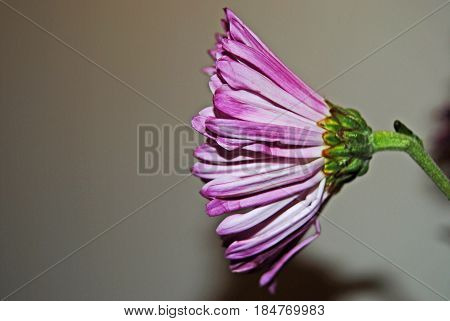 Purple Pink beautiful Spring flowers in bloom side view tutu lookalike, petals, burst, macro side view perspective and angle